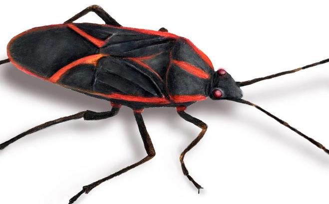 Box Elder Bug